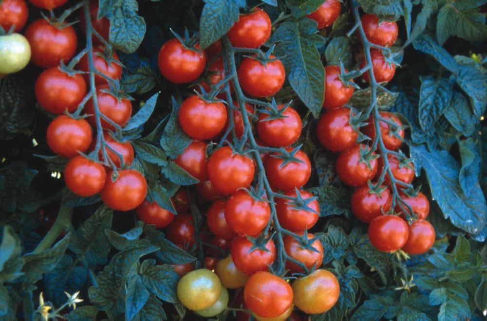 Правильный полив для большого урожая томатов.