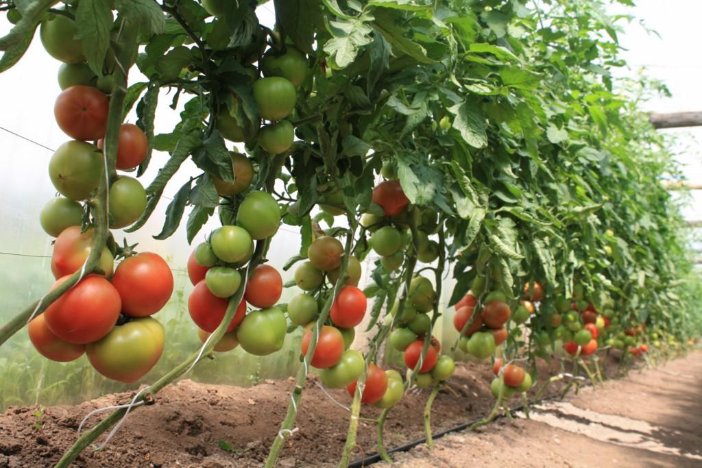Как помидоры сделать сладкими в теплице